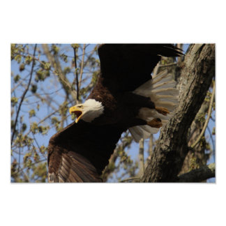 KMCphoto Screaming Eagle Poster