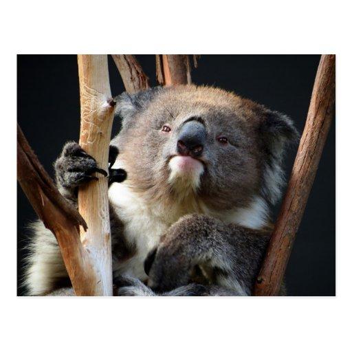 Koala 1 post card