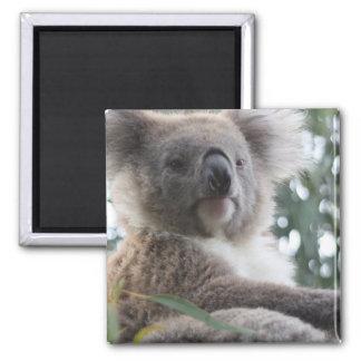 Koala Bear Facts Magnet