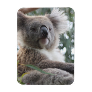 Koala Bear Facts Premium Magnet Rectangle Magnet