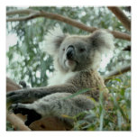 Koala Bear Posters
