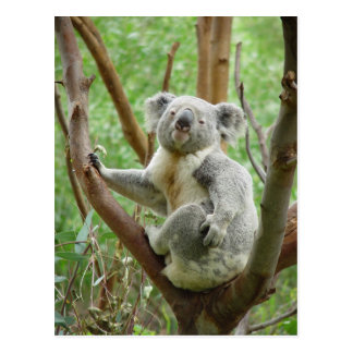 Koala Bear Sitting On The Tree At Perth Zoo Postcard