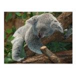 Koala bear so cute postcards