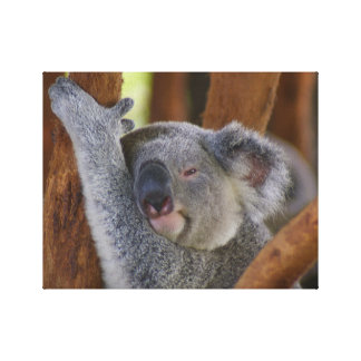 Koala Bear Wrapped Canvas