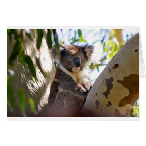Koala Bears Aussi Outback Destiny Nature Greeting Cards