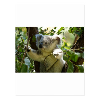 Koala Bears Aussi Outback Destiny Nature Postcard