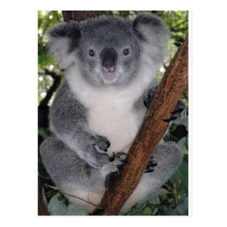 Koala Bears Postcard