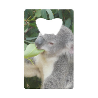 Koala Eating Gum Leaf