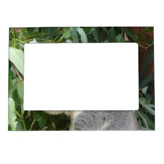 Koala Eating Gum Leaf Magnetic Picture Frame