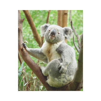KOALA IN TREE Photograph Wrapped Canvas Wall Art Gallery Wrapped Canvas