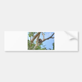 KOALA IN TREE QUEENSLAND AUSTRALIA BUMPER STICKER