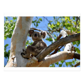 KOALA IN TREE QUEENSLAND AUSTRALIA POSTCARD