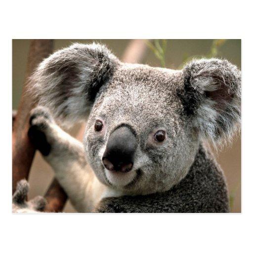 Koala line post card