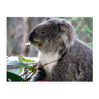 koala lunch postcard