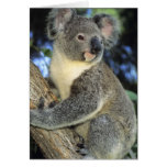 Koala, Phascolarctos cinereus), Australia, Greeting Card
