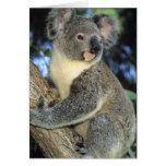 Koala, Phascolarctos cinereus), Australia, Greeting Card