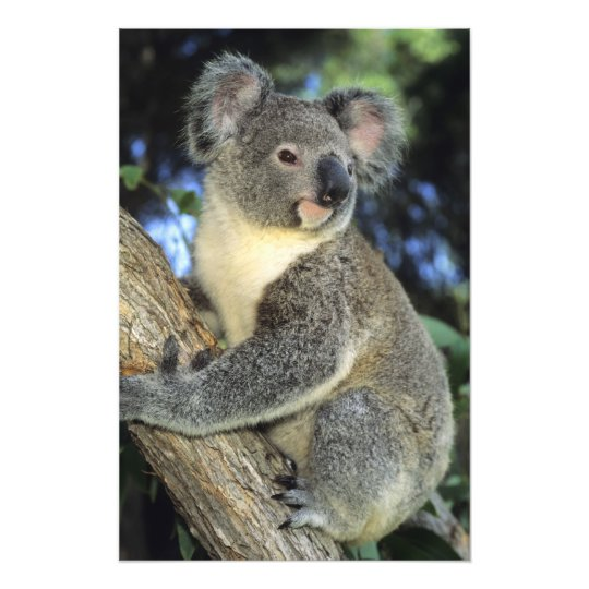 Koala, Phascolarctos cinereus), Australia, Photograph