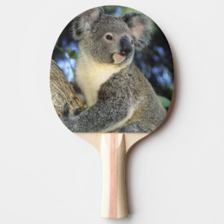 Koala, Phascolarctos cinereus), Australia, Ping Pong Paddle