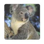 Koala, Phascolarctos cinereus), Australia, Puzzle Coaster