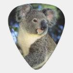 Koala, Phascolarctos cinereus), Australia, Plectrum