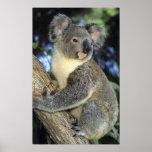 Koala, Phascolarctos cinereus), Australia, Poster