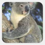 Koala, Phascolarctos cinereus), Australia, Square Sticker
