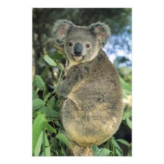Koala, Phascolarctos cinereus), endangered, Photograph