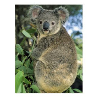 Koala, Phascolarctos cinereus), endangered, Postcard