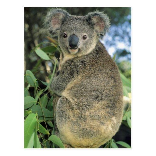 Koala, Phascolarctos cinereus), endangered, Postcard
