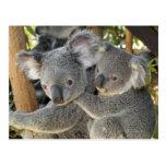 Koala Phascolarctos cinereus Queensland .