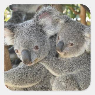 Koala Phascolarctos cinereus Queensland . Square Sticker