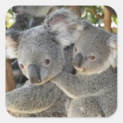 Koala Phascolarctos cinereus Queensland . Stickers