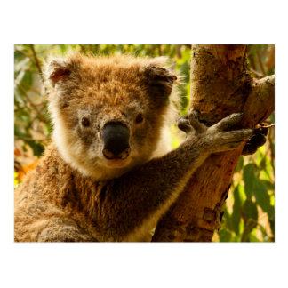 Koala Postcard