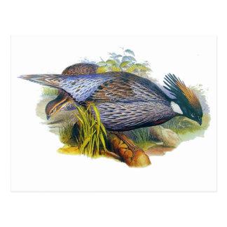 Koklass Pheasant Postcard