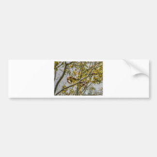 KOOKABURRA IN FLIGHT AUSTRALIA ART EFFECTS BUMPER STICKER