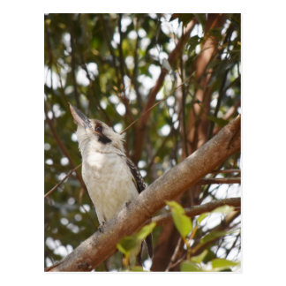 KOOKABURRA RURAL QUEENSLAND AUSTRALIA POSTCARD