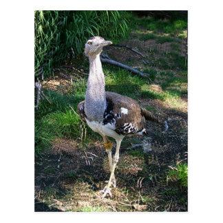 Kori Bustard Bird Postcard