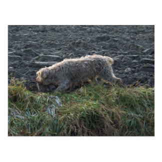 Korthals Griffon - Tsjip roaming the land Postcard