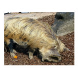 Kunekune Pig Post Cards
