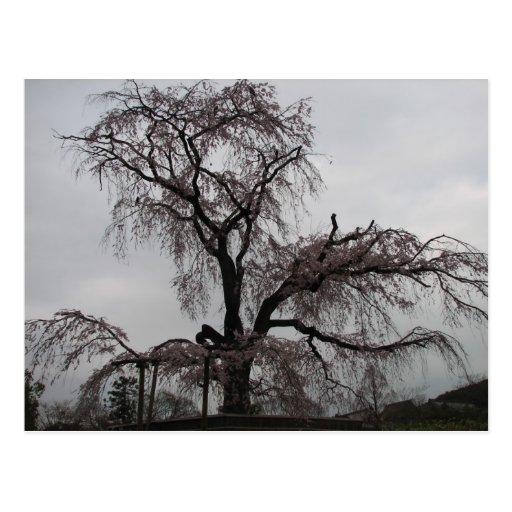 Kyoto Sakura Tree, Japan Post Card