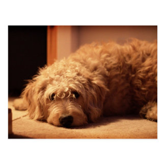 Labradoodle Dog looking sad Postcard