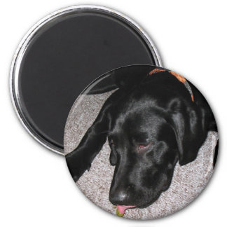 Labrador Puppy Is Eating Grapes 6 Cm Round Magnet