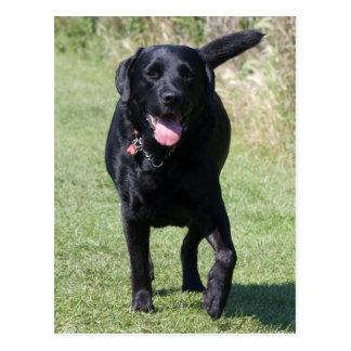 Labrador Retriever black dog beautiful photo Postcard