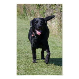 Labrador Retriever black dog beautiful photo print