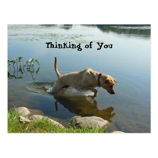 Labrador Retriever Leaps Postcard Postcards