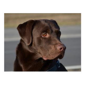 Labrador retriever Lorenzo Postcard