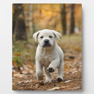 Labrador retriever puppy plaque