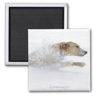 Labrador retriever running through deep snow magnet