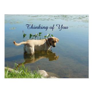 Labrador Retriever Water Reflection Postcard