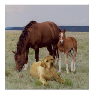 Labrador Retriever With Horses Poster